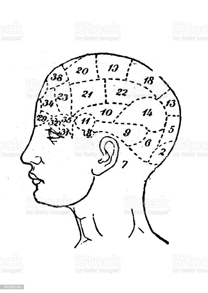 Human head skull phrenology study vector art illustration