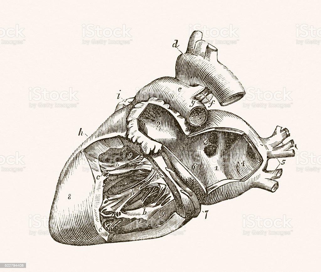 Human Heart 19 century medical illustration vector art illustration
