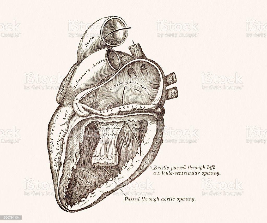 Human Heart Anatomy 19 century medical illustration vector art illustration