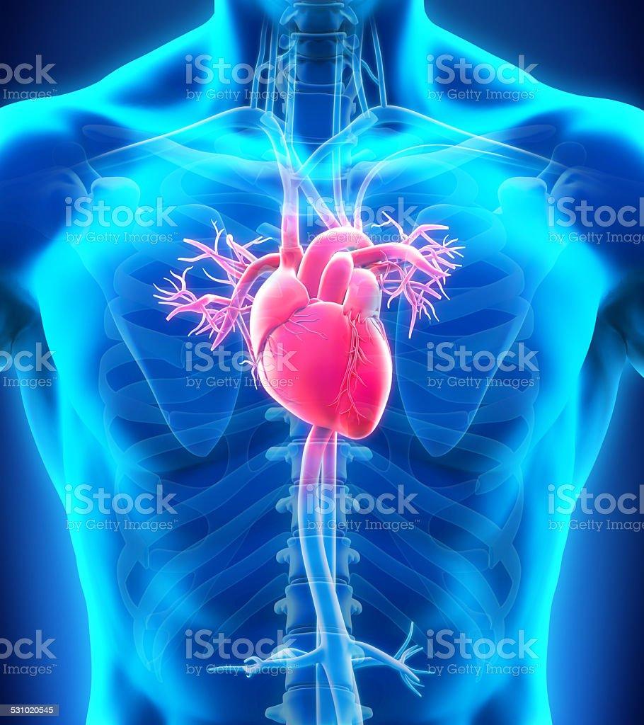 Human Heart Anatomy vector art illustration