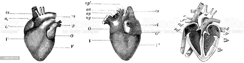 Human heart (front, back, section) royalty-free stock vector art