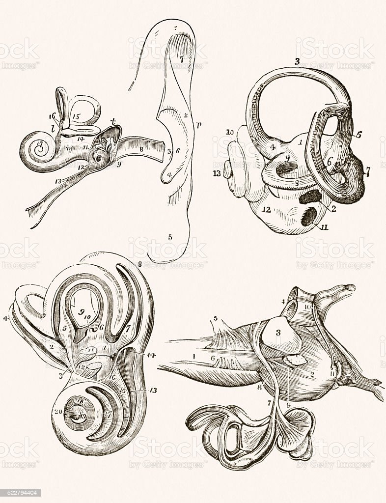 Human Inner Ear 19 century medical illustration vector art illustration