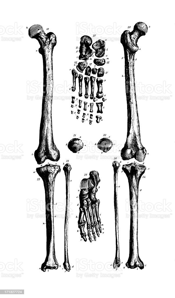 Human Leg Bones  | Antique Medical Scientific Illustrations and Charts royalty-free stock vector art