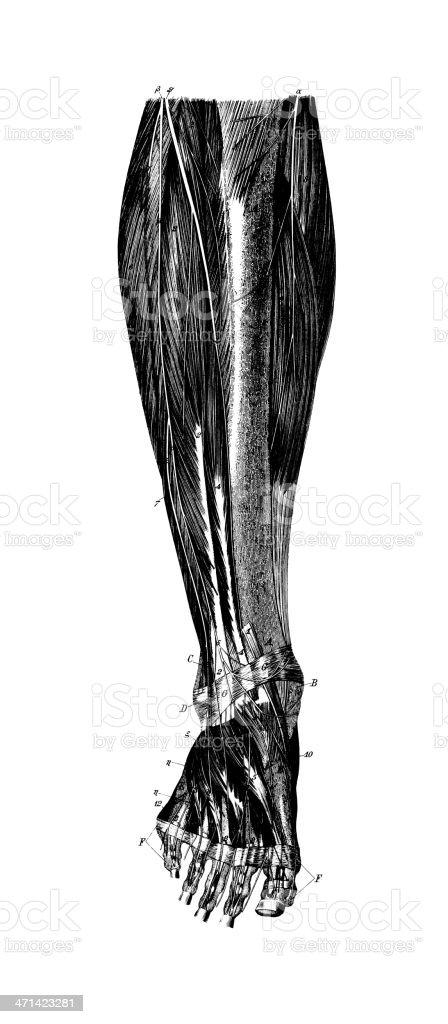 Human Leg Muscles | Antique Medical Scientific Illustrations and Charts vector art illustration