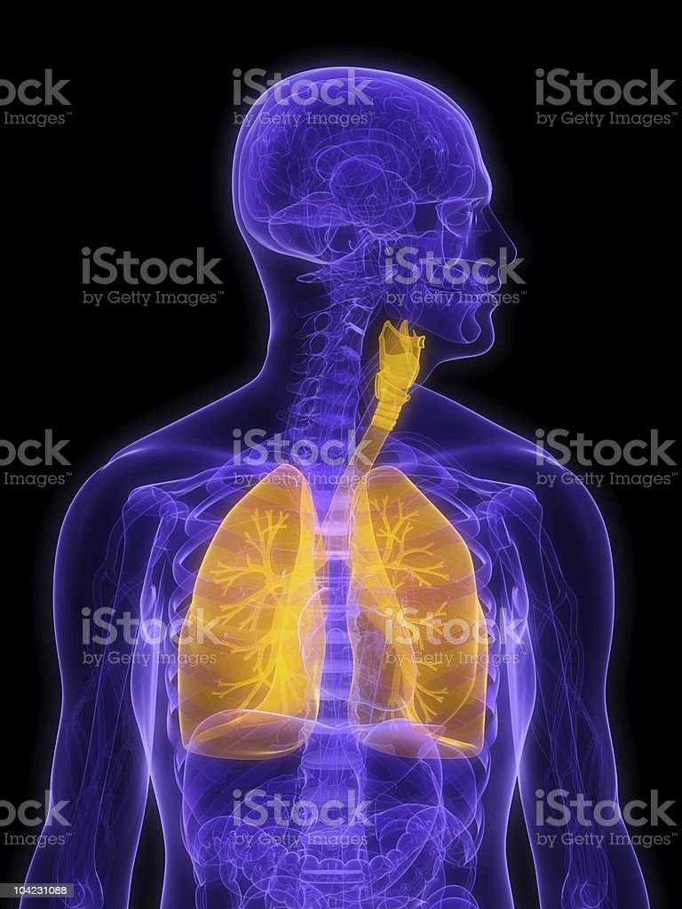 human lung royalty-free stock vector art
