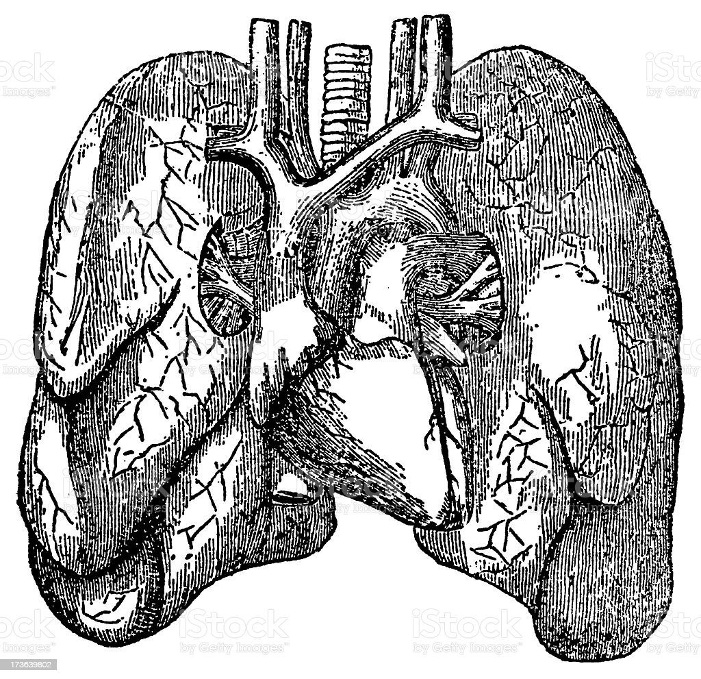 Human Lungs - Antique Medical Illustration royalty-free stock vector art