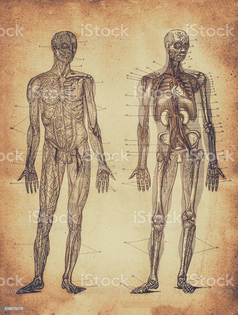 Human male anatomy vector art illustration