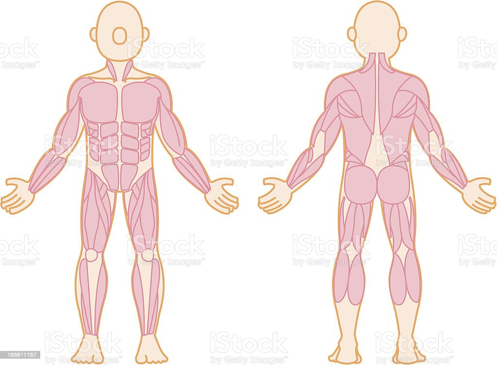 Human Muscle royalty-free stock vector art