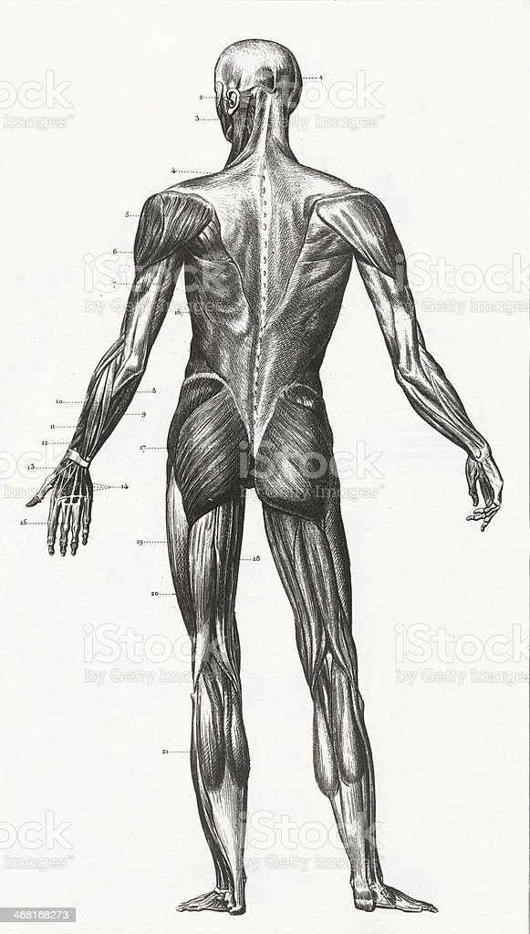 Human Muscles and Ligaments Engraving royalty-free stock vector art