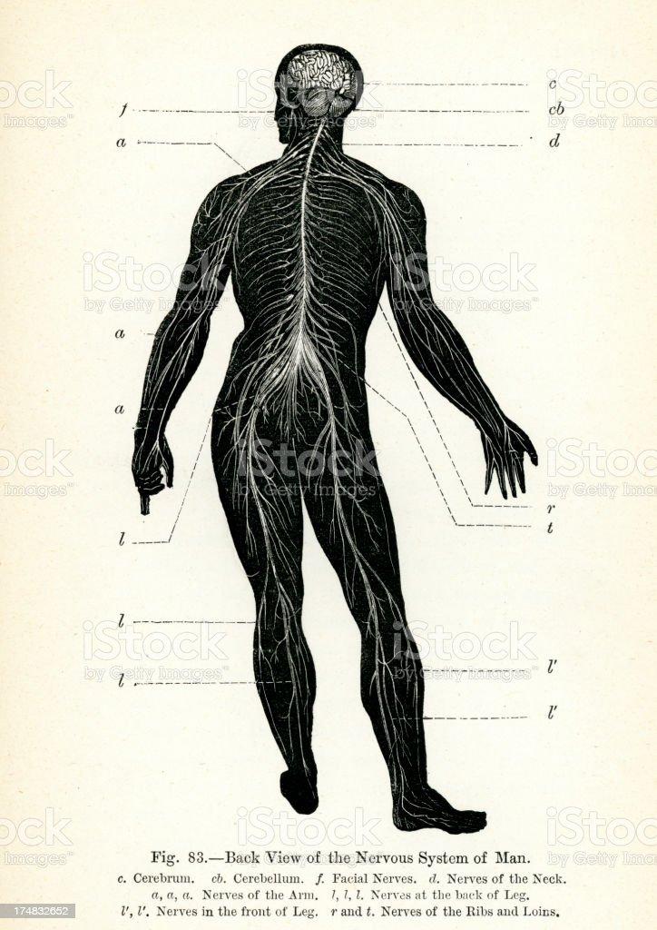 Menschliches Nervensystem Vektor Illustration 174832652 | iStock