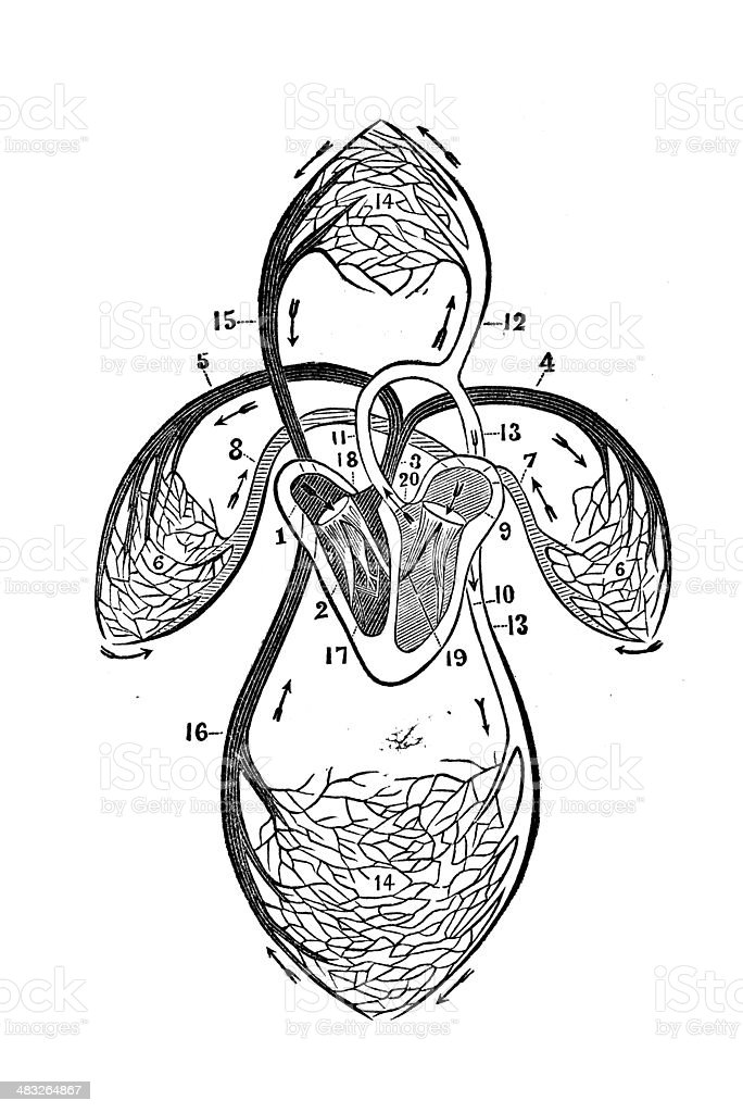 Human Organs Of Circulation vector art illustration