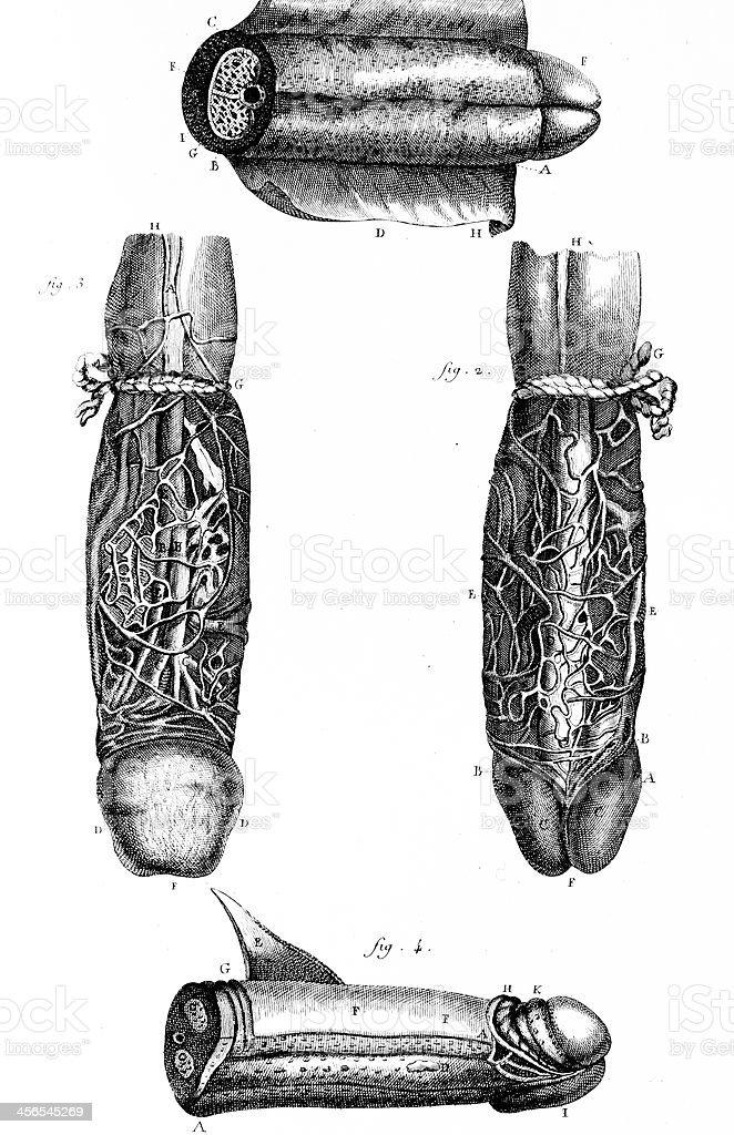 Human Penis vector art illustration
