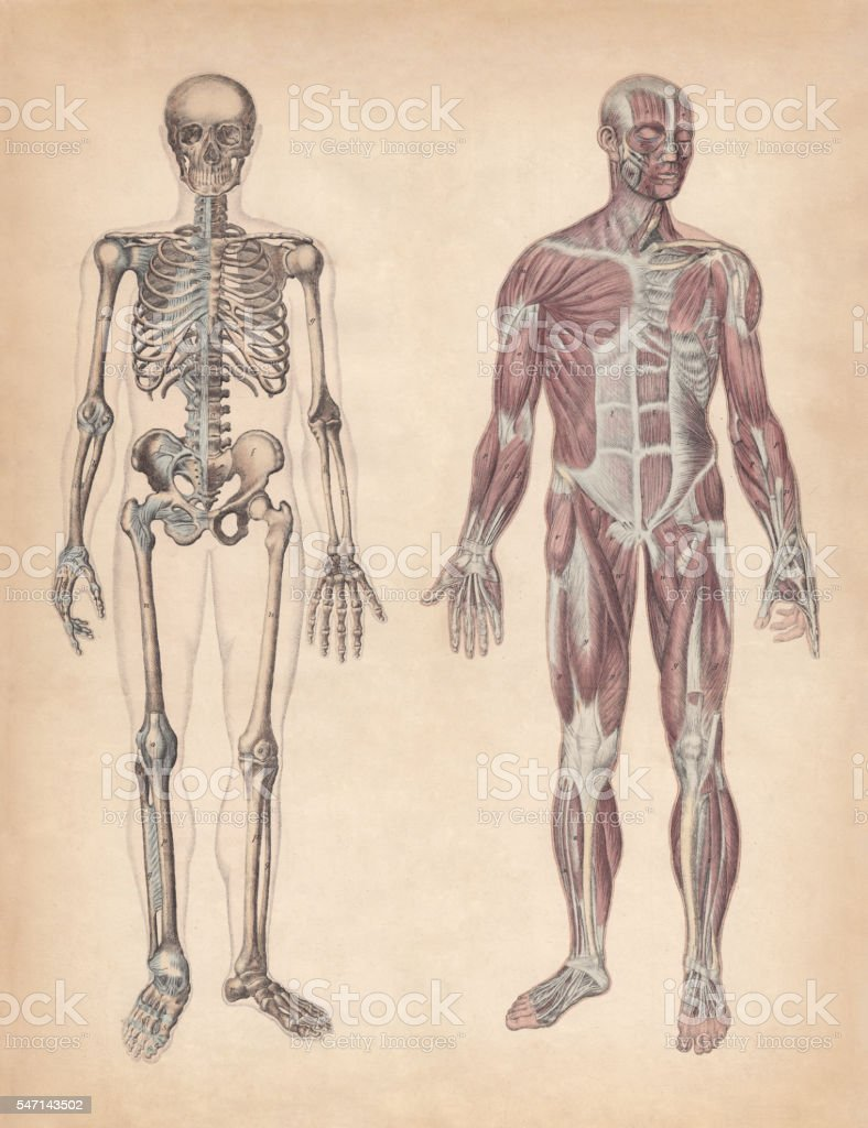 Human skeleton and muscles, hand-coloured engraving, published in 1861 vector art illustration