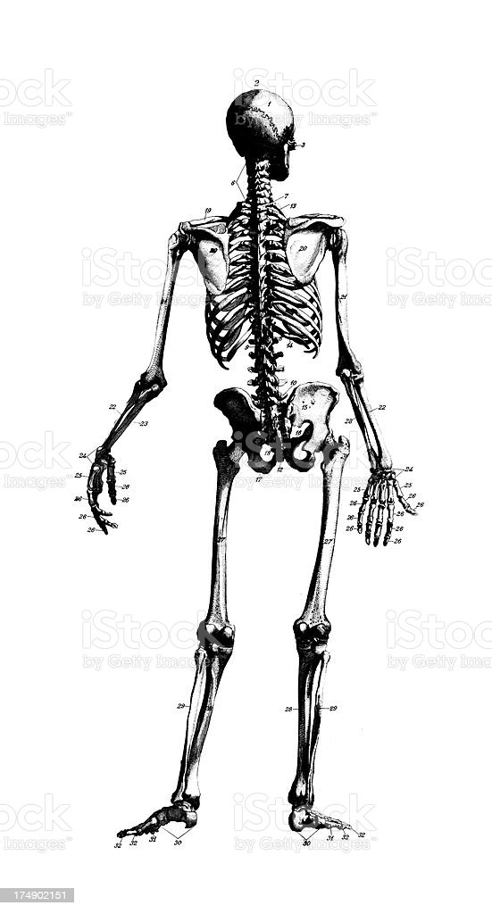 Human Skeleton | Antique Medical Scientific Illustrations and Charts royalty-free stock vector art