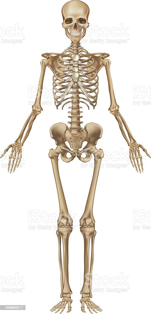 Human skeleton, front view vector art illustration