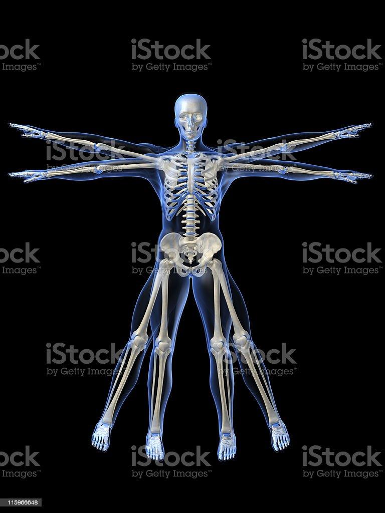 human skeleton royalty-free stock vector art