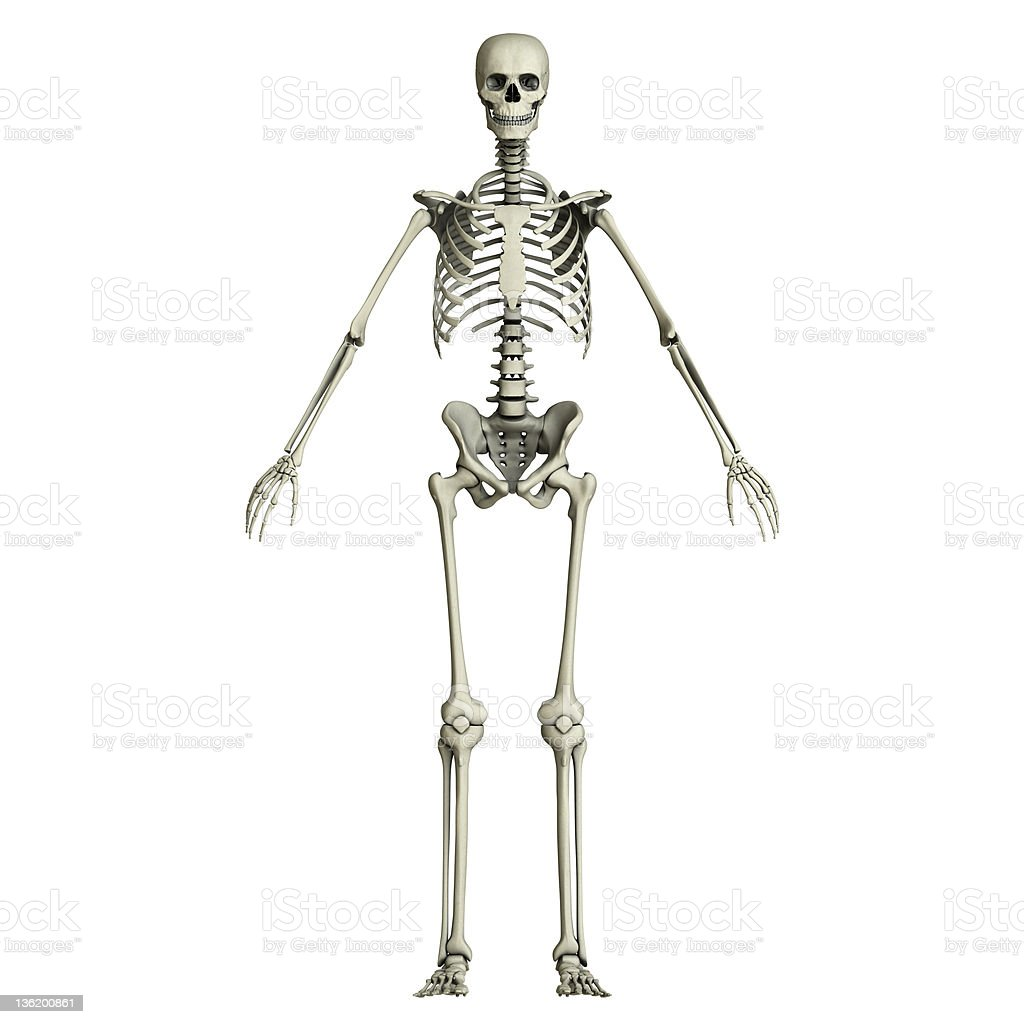 Human skeleton vector art illustration