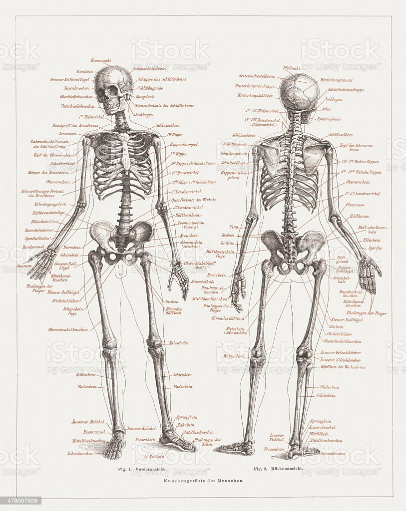 Human skeleton, lithograph, published in 1878 vector art illustration