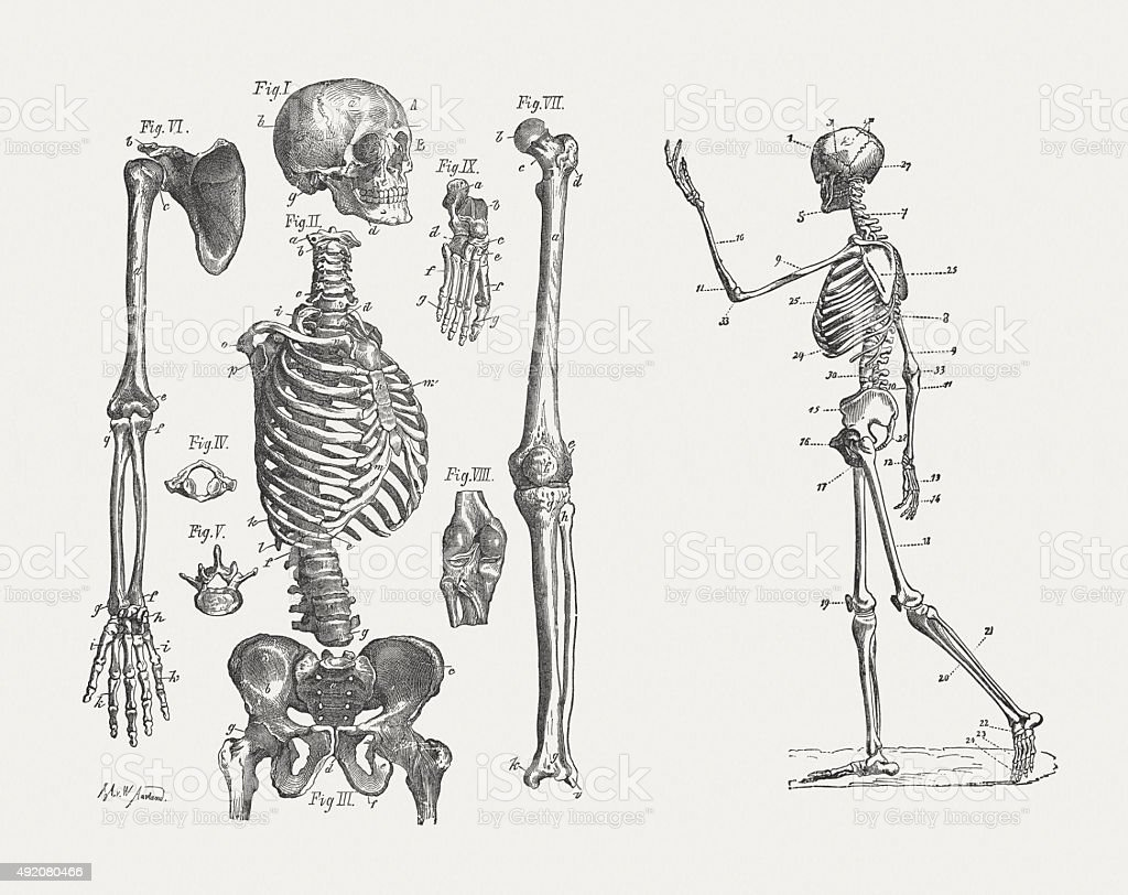 human skeleton published in 1884 stock vector art 492080466 | istock, Skeleton