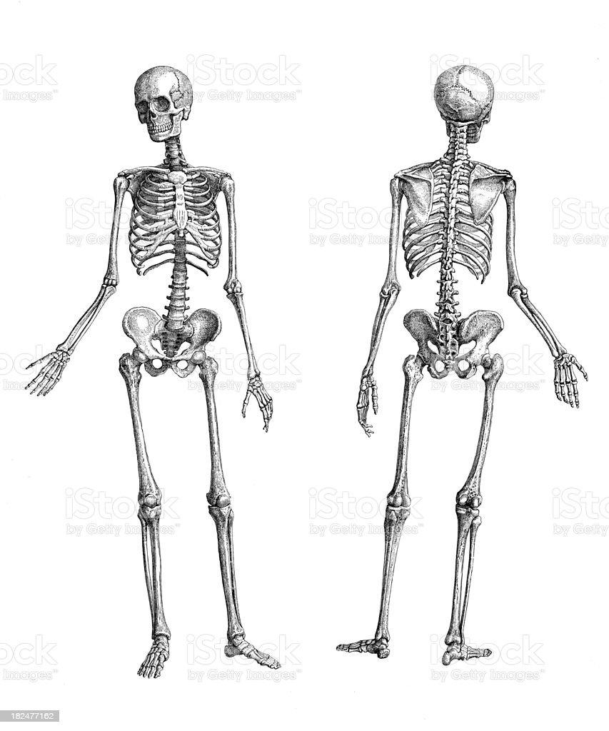 Human Skeletons royalty-free stock vector art