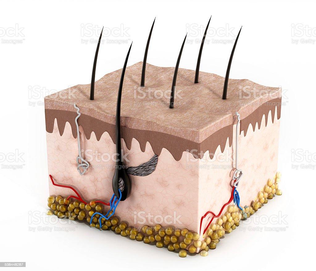 Human skin structure vector art illustration