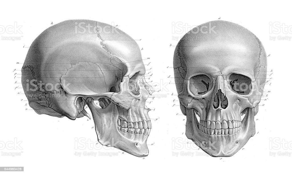 Human skull anatomy illustration 1866 vector art illustration