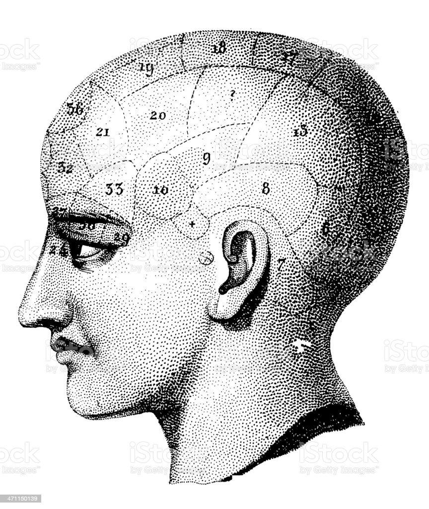 Human Skull   Antique Medical Illustration royalty-free stock vector art