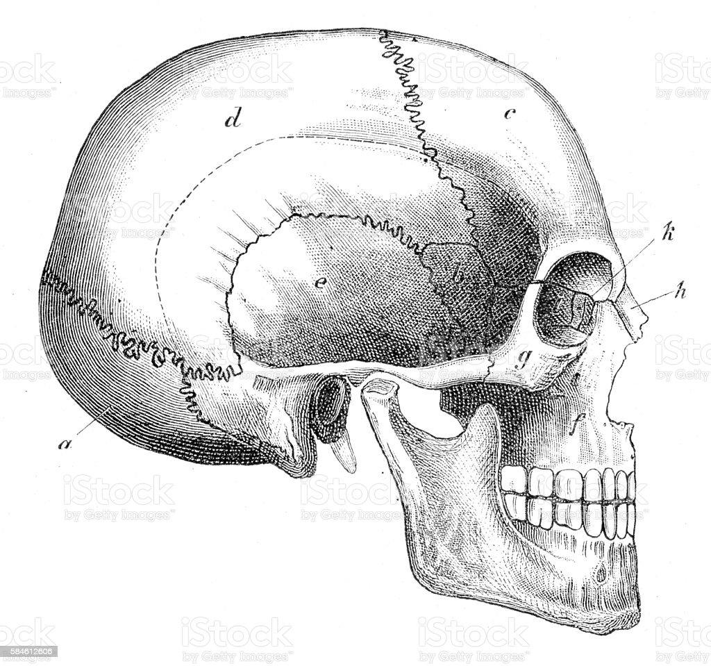 Human Skull Engraving 1888 vector art illustration