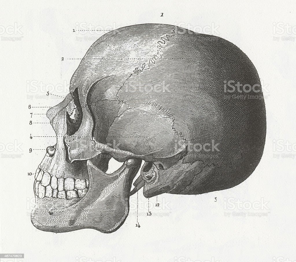 Human Skull Engraving vector art illustration