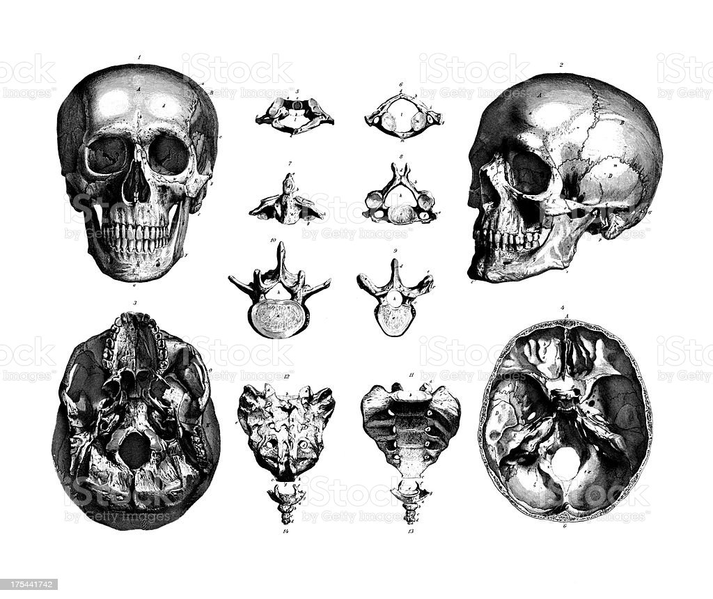 Human Skulls Set | Antique Medical Scientific Illustrations and vector art illustration