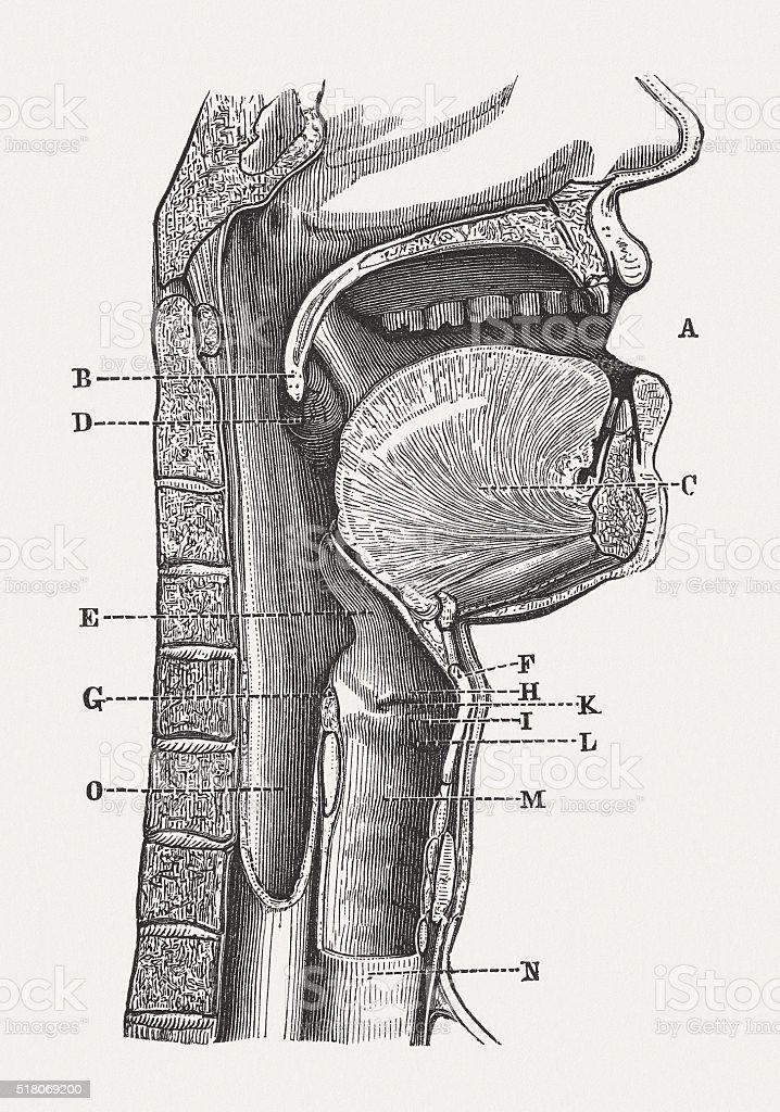 Human speech organs, wood engraving, published in 1880 vector art illustration