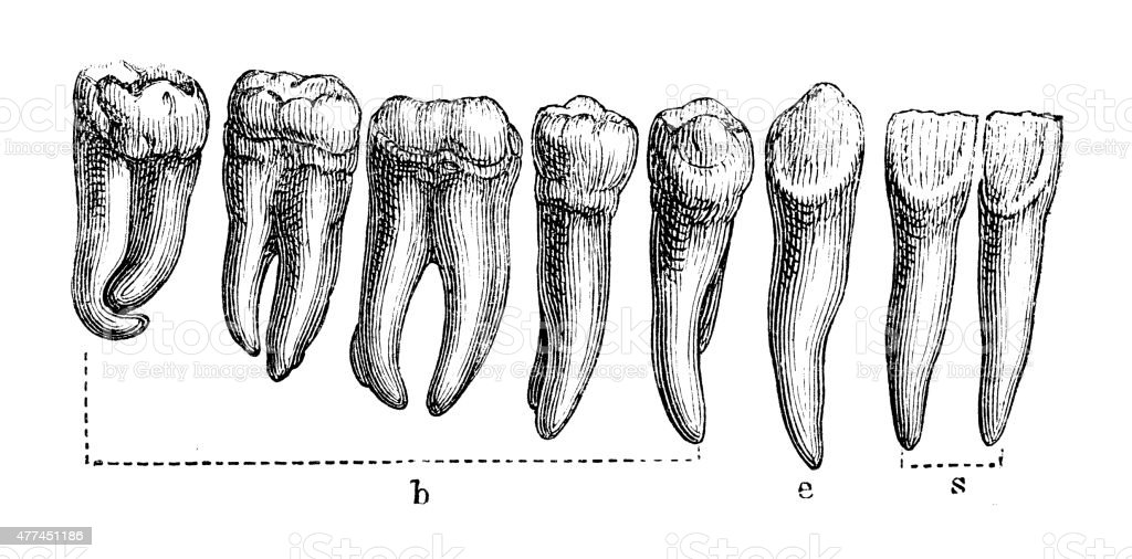 Human Teeth vector art illustration