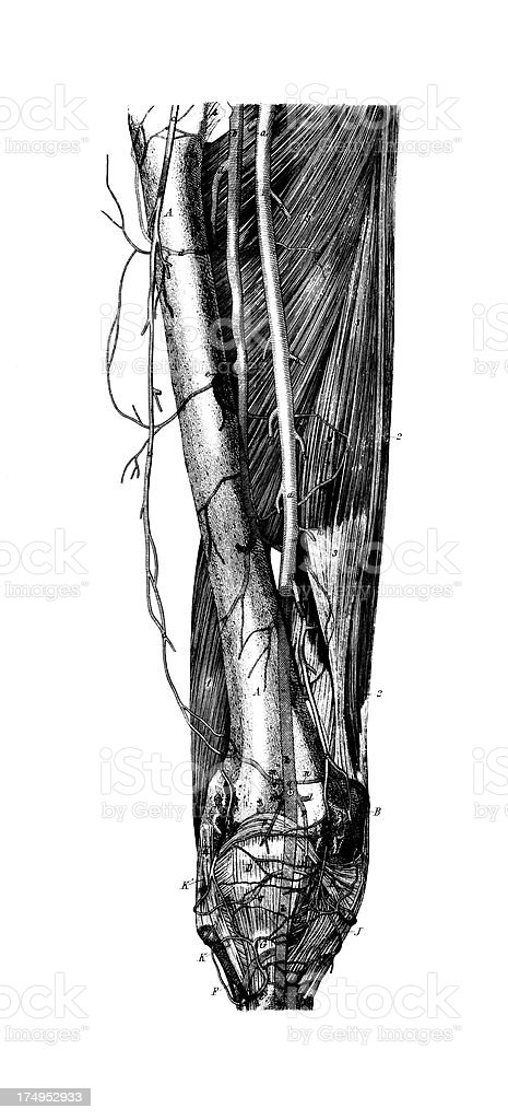 Human Thigh Nerves  | Antique Medical Scientific Illustrations and Charts royalty-free stock vector art