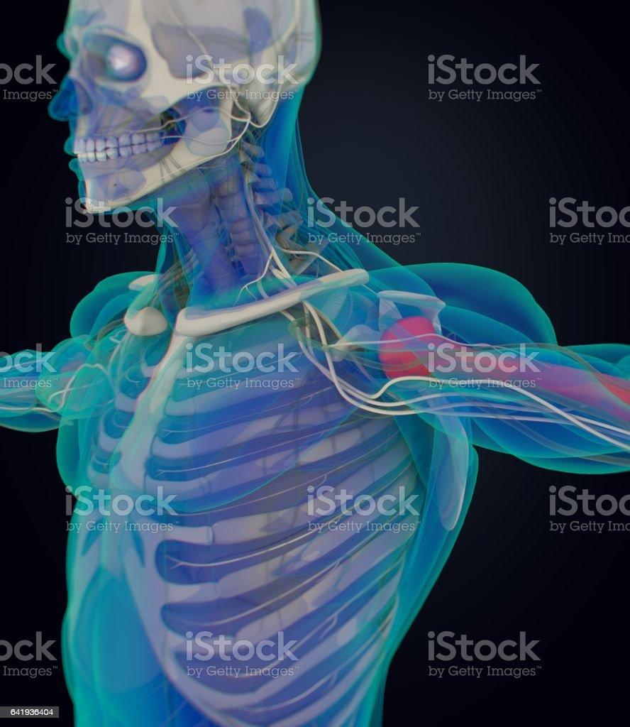 Humerus Bone Human Anatomy Skeletal System 3d Illustration Vektor