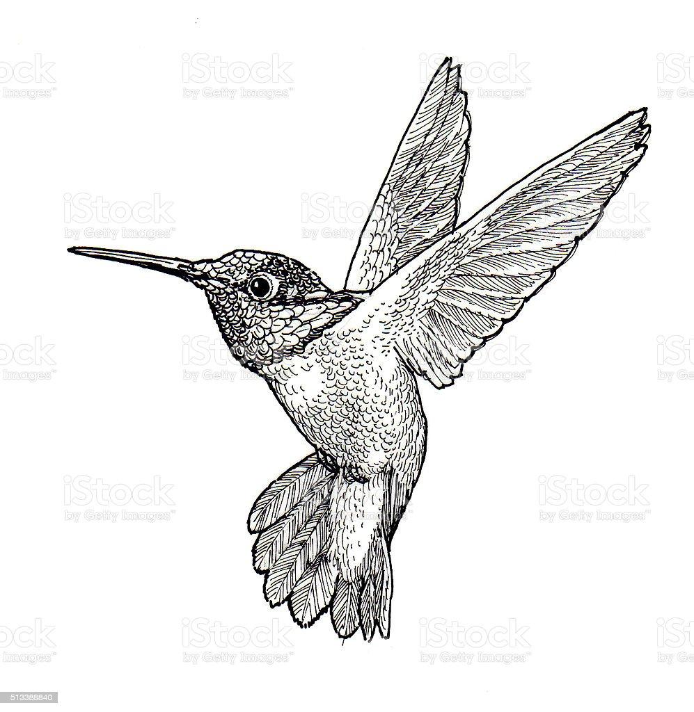 Kolibri Lizenzfreies vektor illustration