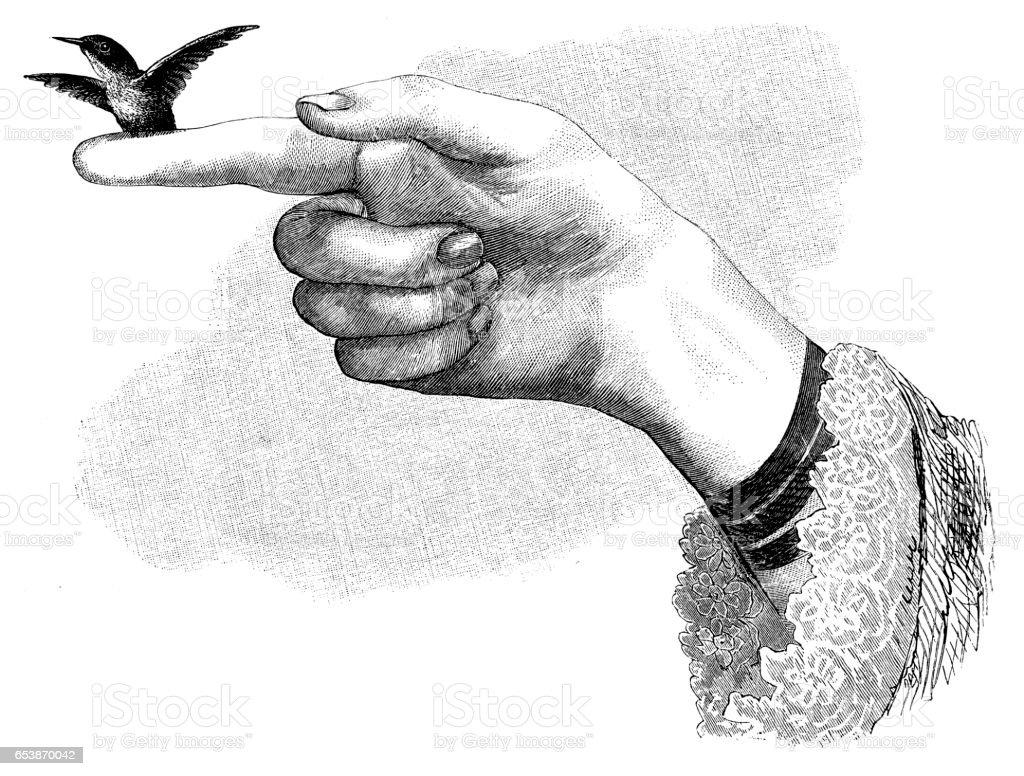 Hummingbird perched on finger vector art illustration