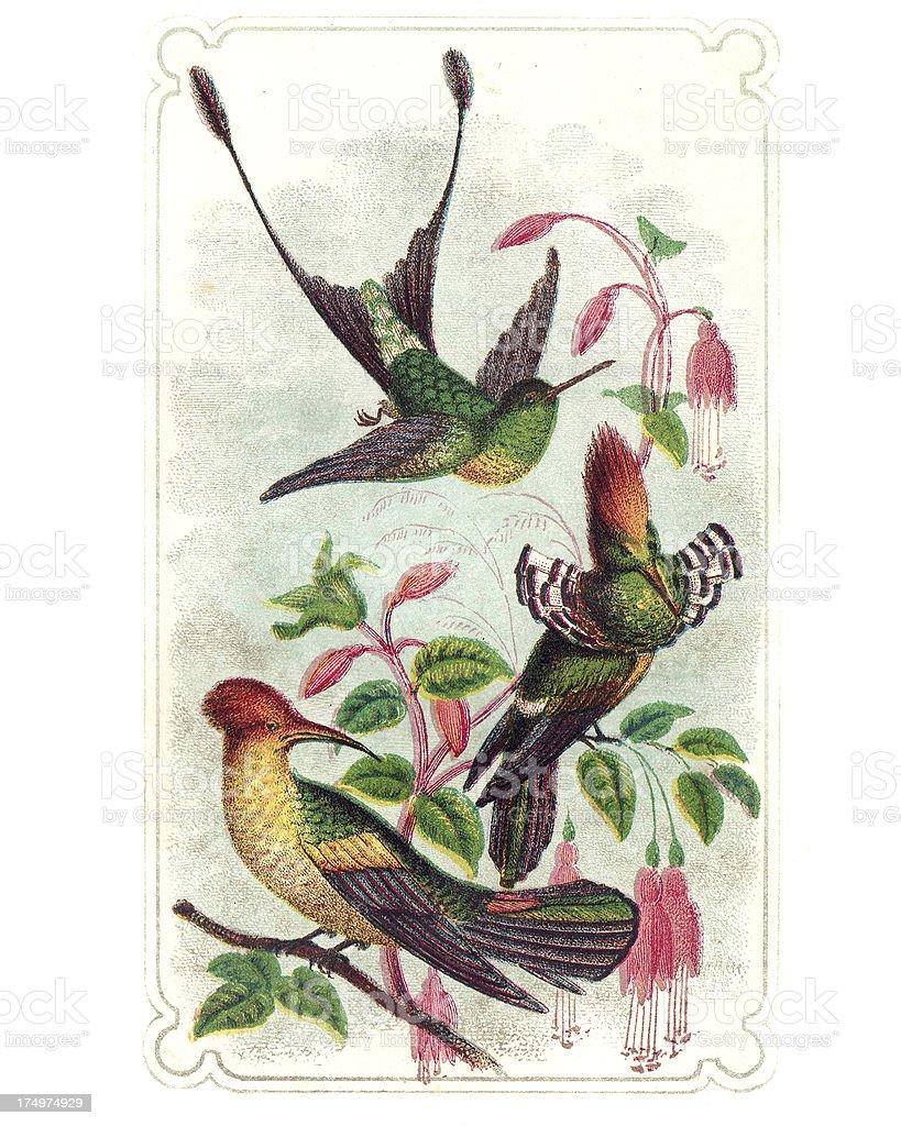 Hummingbirds - Engraving royalty-free stock vector art