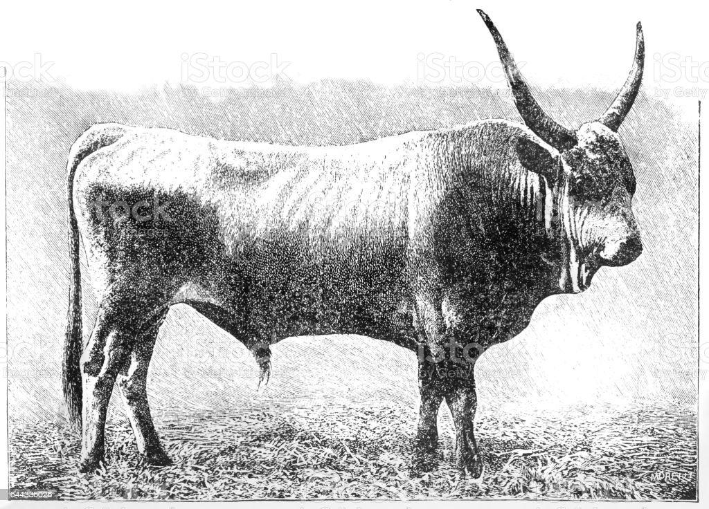Hungarian bull vector art illustration