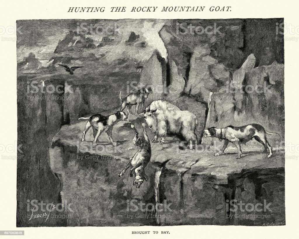 Hunting dogs attack a Rocky Mountain Goat vector art illustration