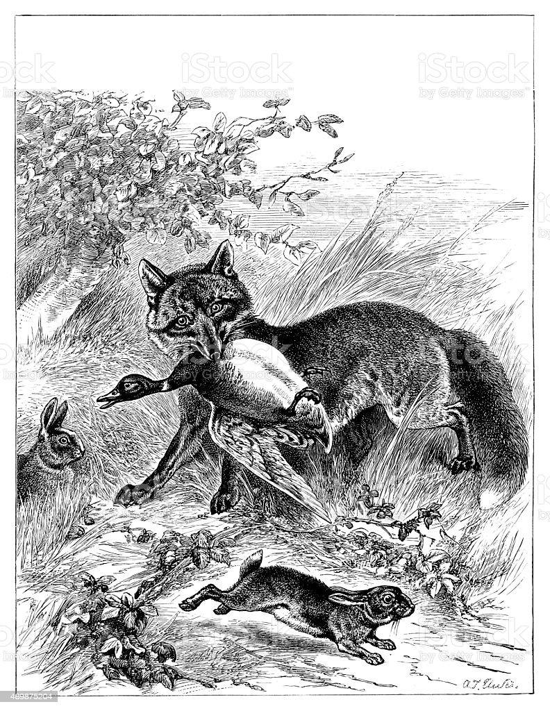 Hunting Fox Catching Duck vector art illustration