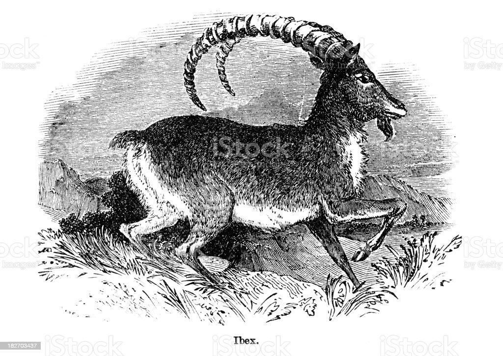 ibex vector art illustration