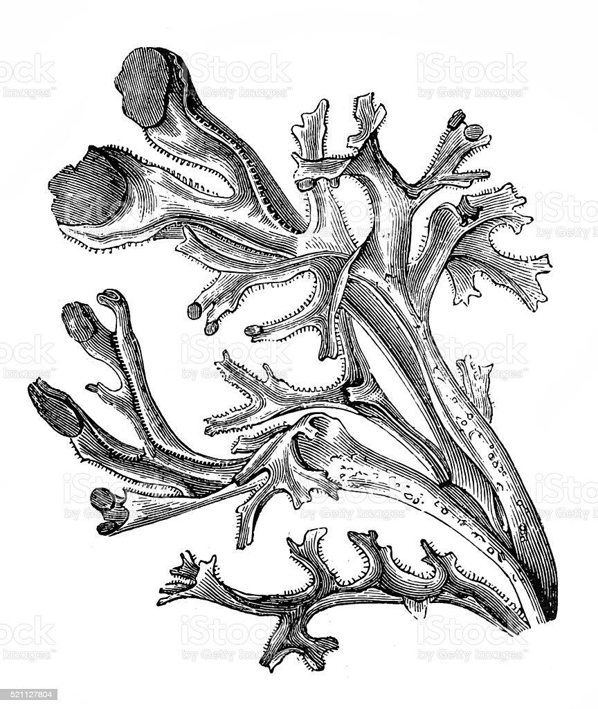 Iceland moss (Cetraria islandica) vector art illustration