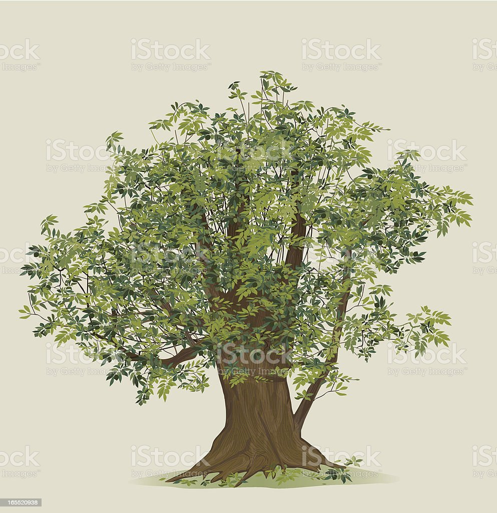 illustration of beech tree royalty-free stock vector art