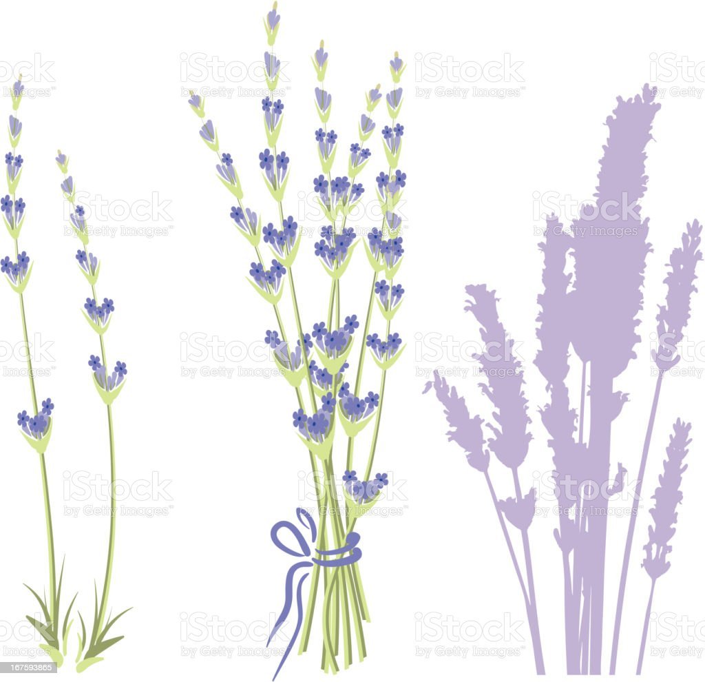 Illustration of lavender isolated on white royalty-free stock vector art