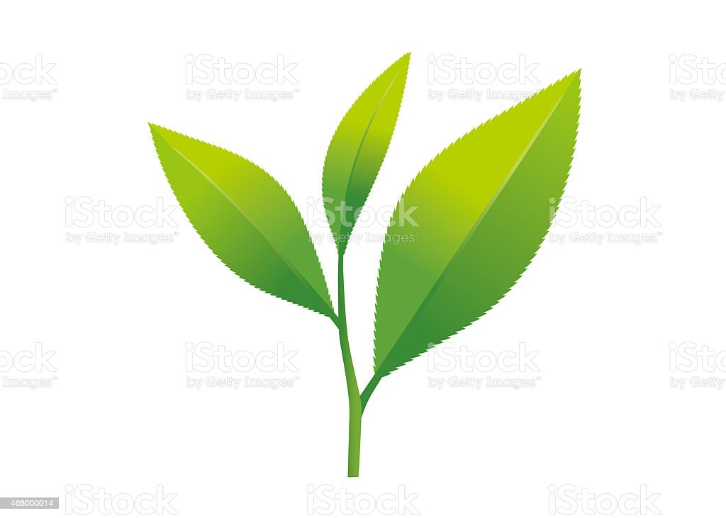 Illustration of Tea leaves (camellia sinensis) vector art illustration