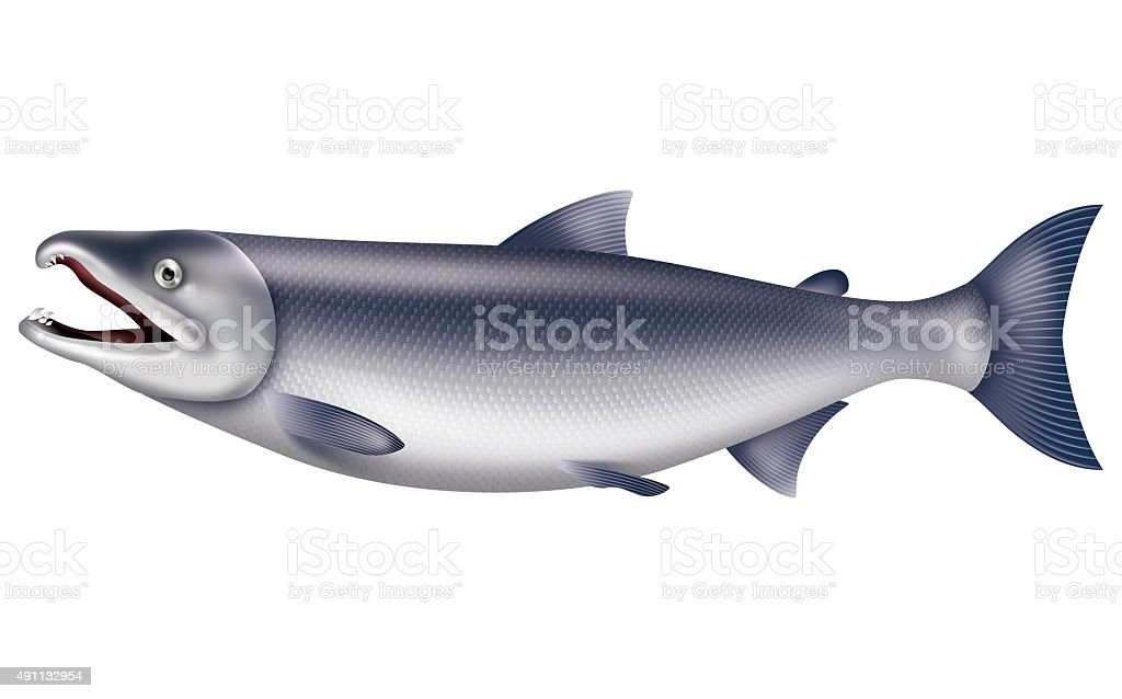 Illustration of the salmon. vector art illustration
