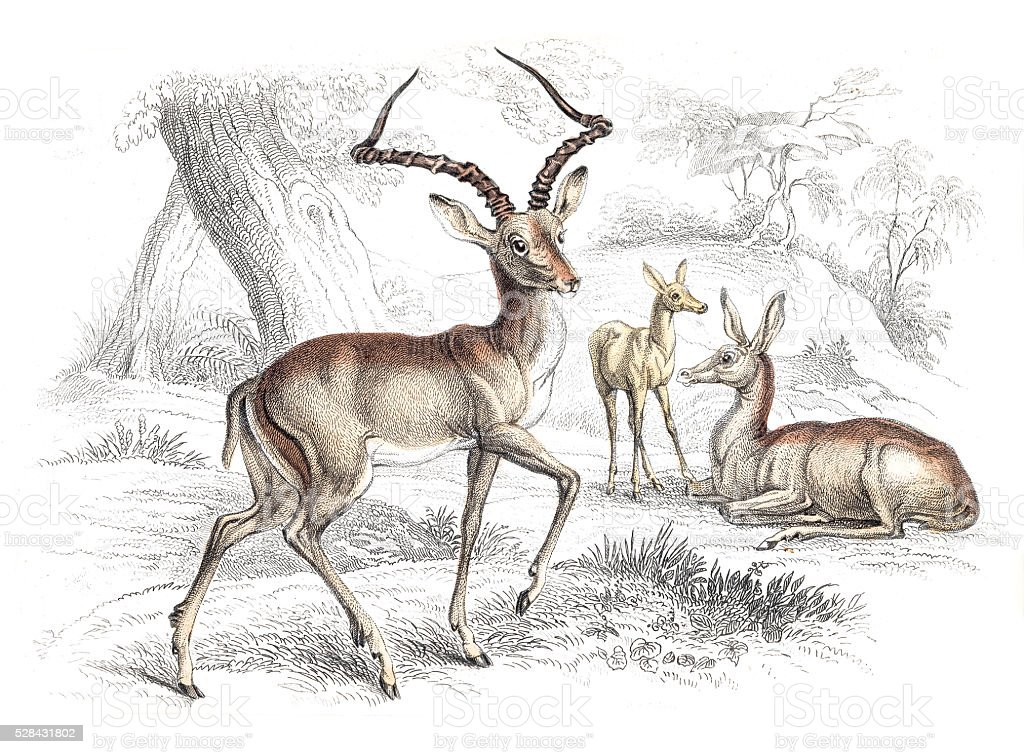 Impala engraving 1855 vector art illustration