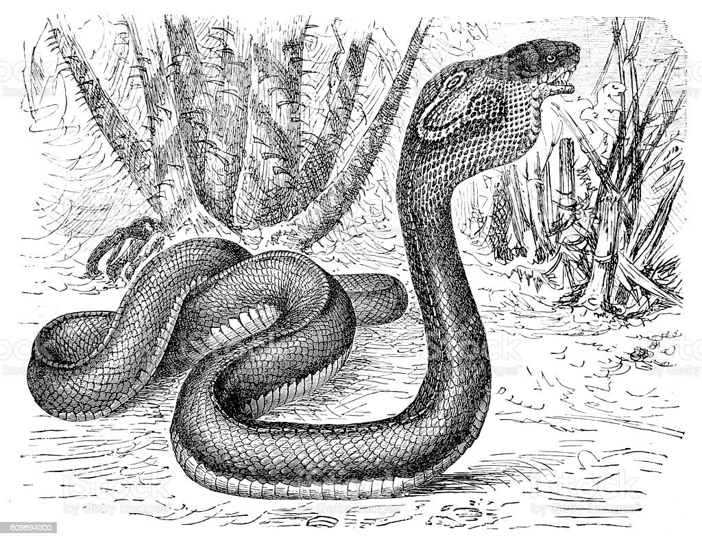 Indian Cobra (Naja naja) vector art illustration