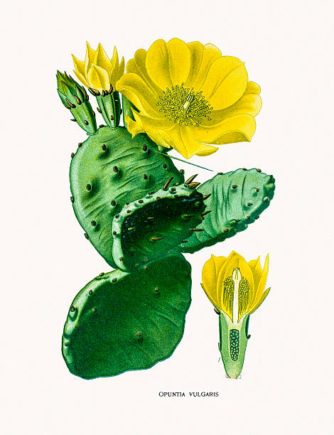 Prickly Pear Cactus Clip Art, Vector Images ...
