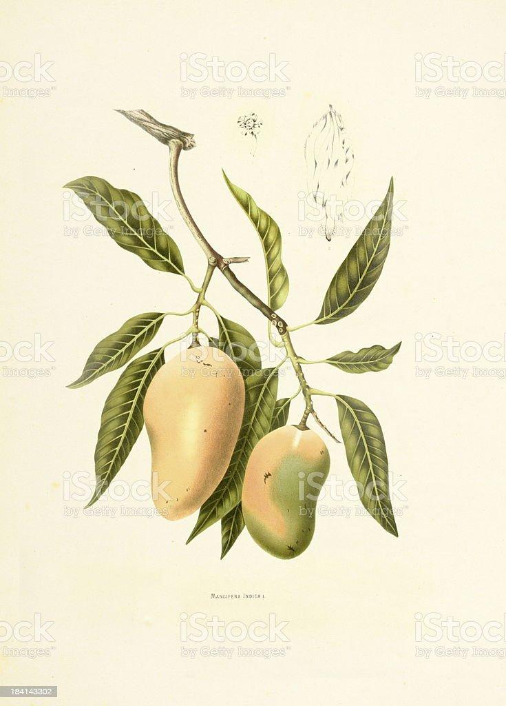 Indian mango | Antique Plant Illustrations vector art illustration